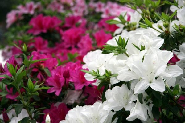 azaleen gartenazaleen weiß lila garten pflanzen