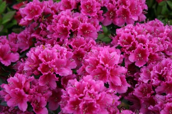 azaleen schöne pflanzen lila garten