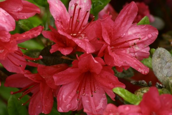 azaleen rote nuancen garten pflanzen