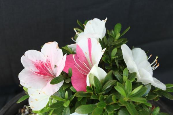 azaleen schöne dekoideen zuhause weiß rosa