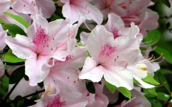 azaleen weiß schöne färbung garten pflanzen