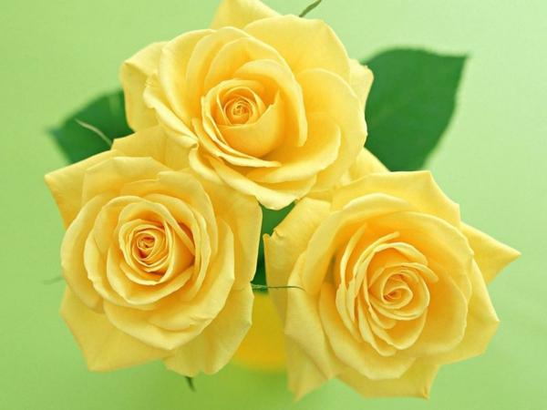 bedeutung rosen gelbe rose sybolik