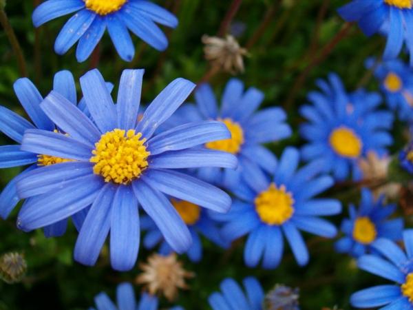 blaue astern schöne dekoideen geschenk ideen
