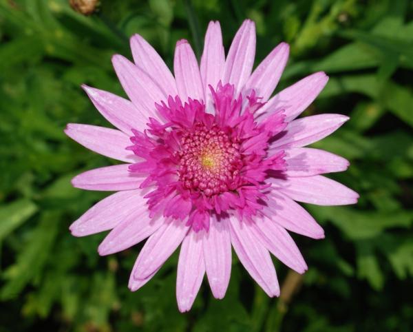 blumen bedeutung chrysantheme schön rosanuancen