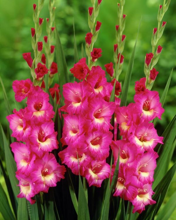 blumen bedeutung gladiolen rosa