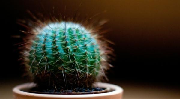 blumen bedeutung kaktus zimmerpflanze deko ideen