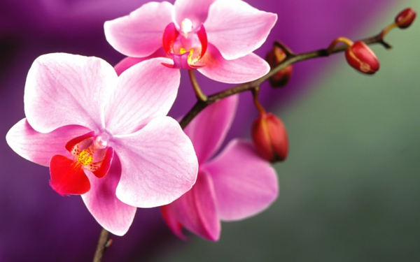 blumen bedeutung orchidee eleganz symbolik