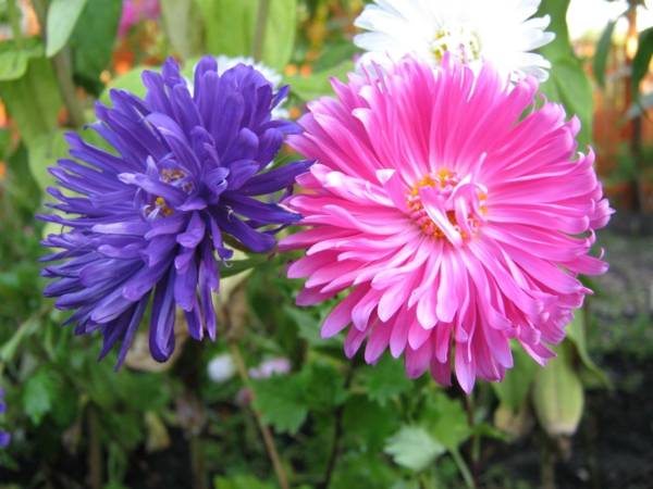 blumen symbolik astern lila rosa glück
