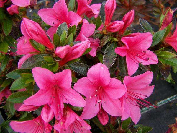 blumen symbolik azaleen rosa leidenschaft