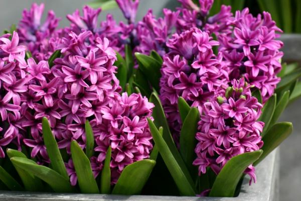 blumen symbolik hyazinthen lila schöne dekoideen
