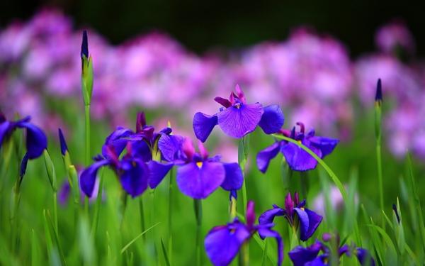 blumen symbolik iris hoffnung glaube weisheit