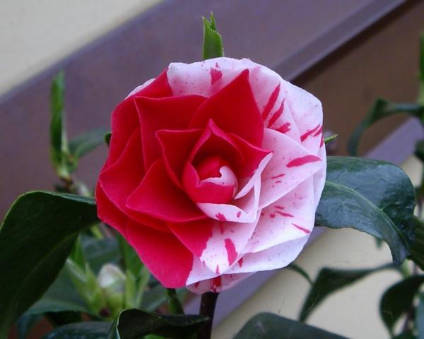 blumen symbolik kamelie blume weiß rot