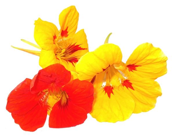 blumen symbolik kapuzinerkressen garten pflanzen