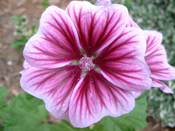 blumen symbolik storchschnäbel blume rosanuancen