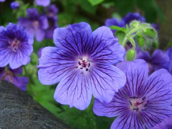 blumen symbolik storchschnäbel lila schöne dekoideen