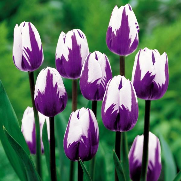 blumen symbolik tulpe lila weiß garten pflanzen