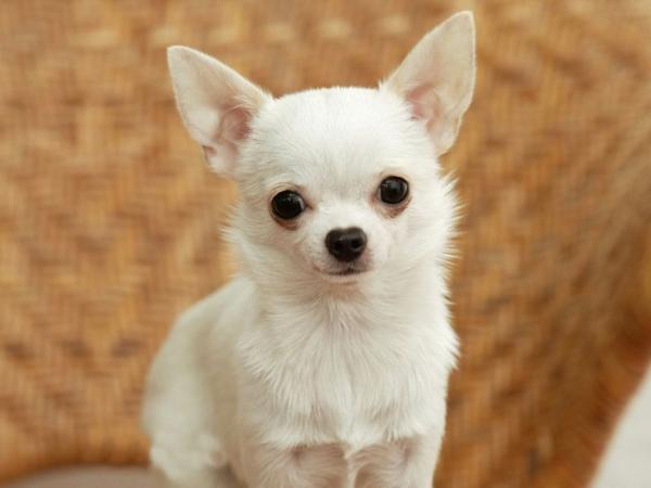chihuahua hund der kleinste hund haustiere