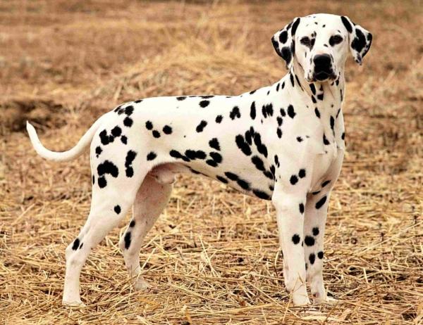 Dalmatians Big Dog