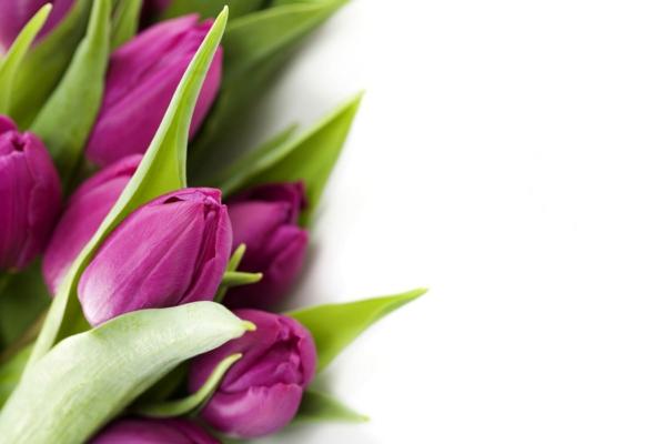 die tulpe lila blüten schöne dekoideen