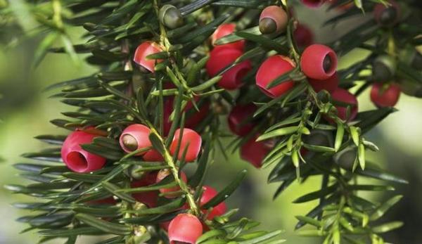 eibe farben rot grün pflanzen garten