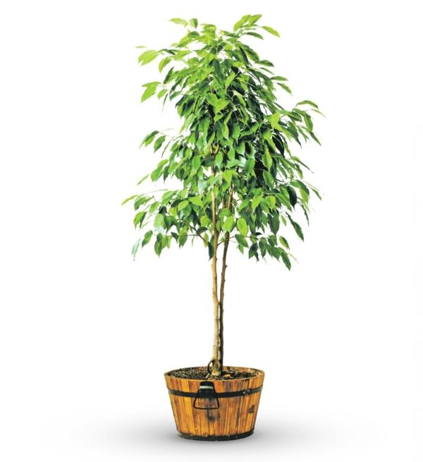 ficus baum schöne dekoideen pflegeleichte pflanzen