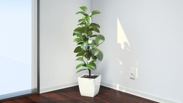 ficus elastica pflanze weißer eleganter blumentopf