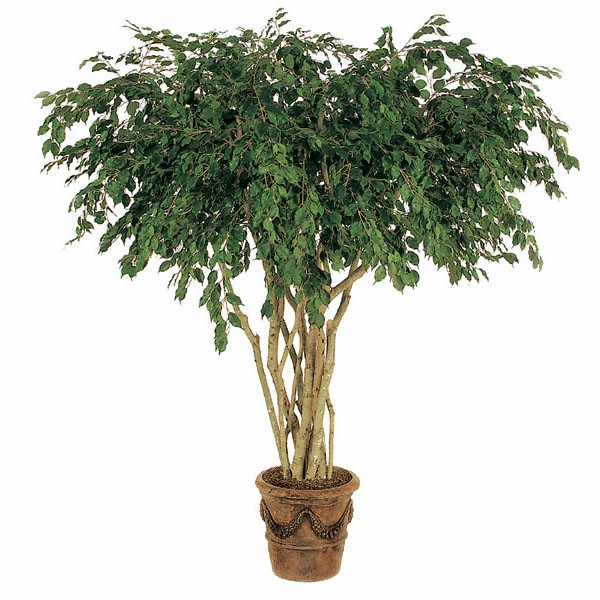 ficus pflanze schöne dekoideen wohnideen