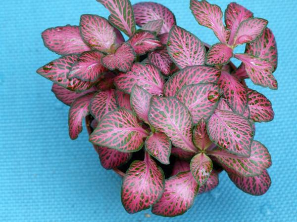 fittonia verschaffeltii schöne dekoideen garten pflanzen