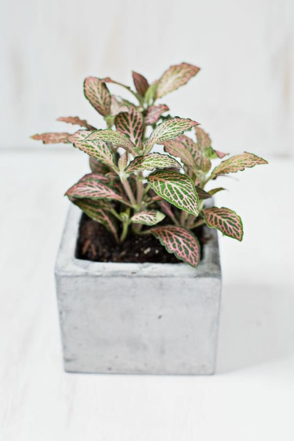 fittonie pflanze ausgefallener pflanztopf schöne dekoideen