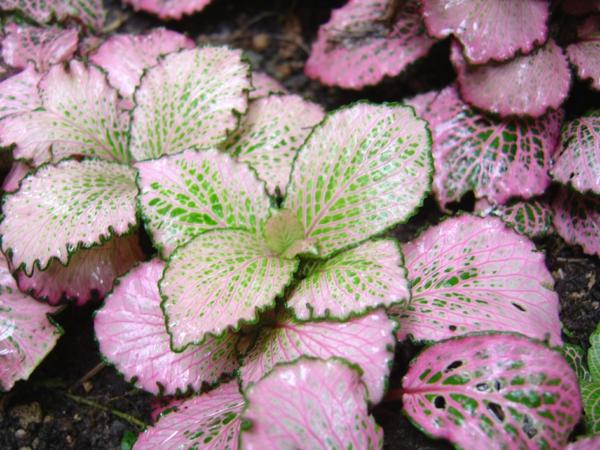 gartenpflanze fittonien blätter schöne rosanuancen
