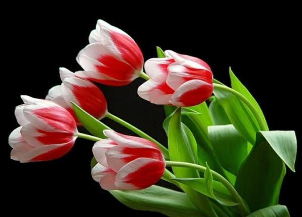 garten pflanzen blumen tulpen rot weiß