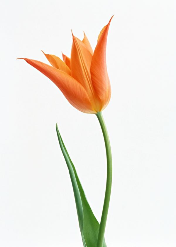 garten pflanzen orange tulpe blumen