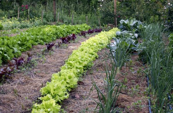 gartenkalender märz gemüse einpflanzen salat zwiebel gartenarbeit