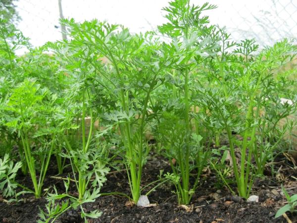 gartenkalender märz gemüse möhren einpflanzen gartenarbeit