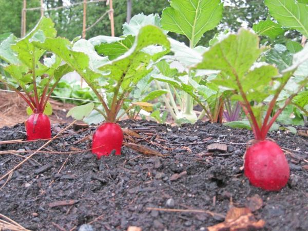 gartenkalender märz gemüse rettiche einpflanzen gartenarbeit