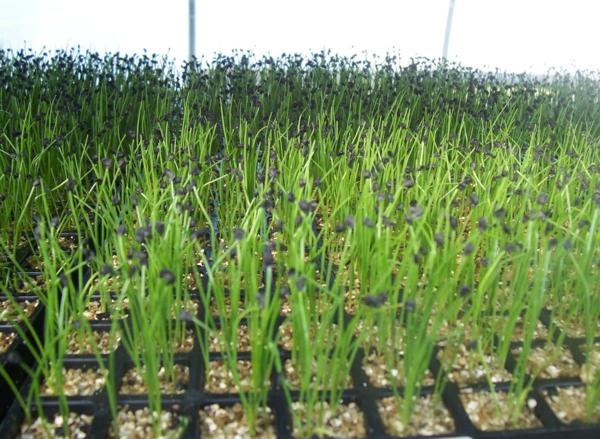 gartenkalender märz gemüse schnittlauch einpflanzen gartenarbeit