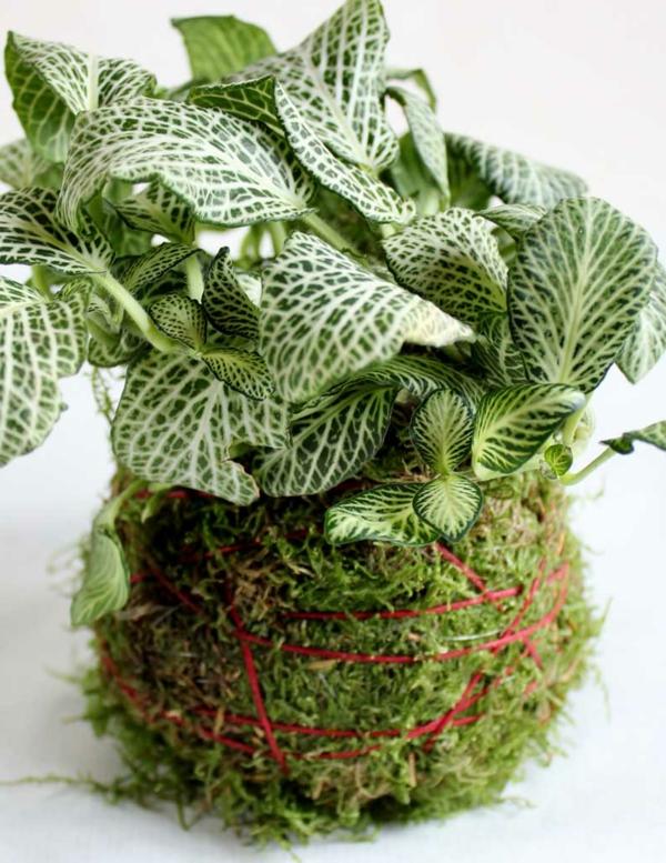 gartenpflanze fittonie ausgefallener pflanztopf schöne dekoideen