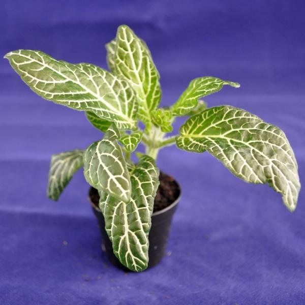 gartenpflanze fittonie kleiner blumentopf schöne dekoideen