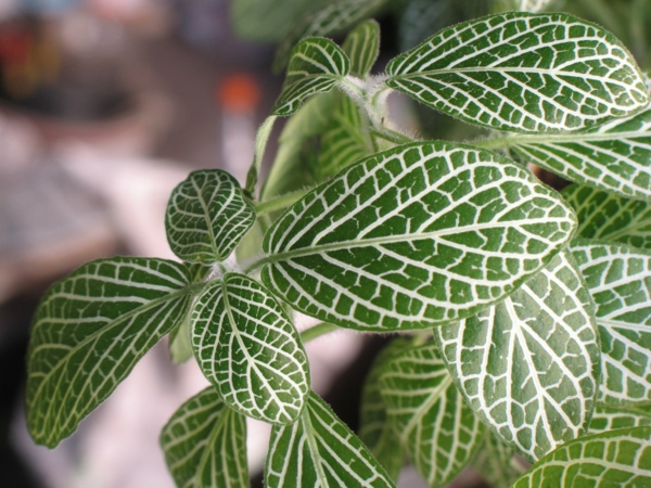 gartenpflanze fittonie pflanze blätter mosaikähnlich
