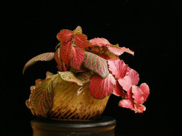 gartenpflanze fittonien ausgefallene blätter schöne dekoideen