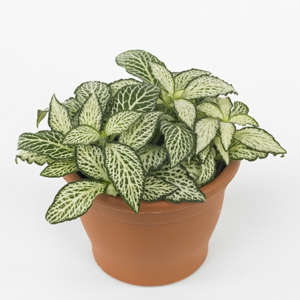 gartenpflanze fittonien hellbrauner pflanztopf deko ideen