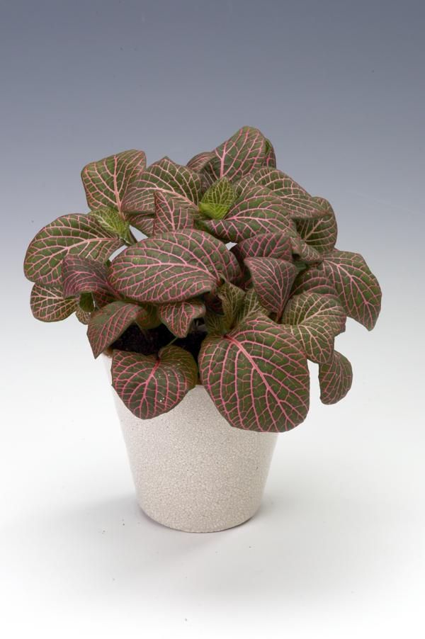 gartenpflanze schöne dekoideen fittonie blumentopf