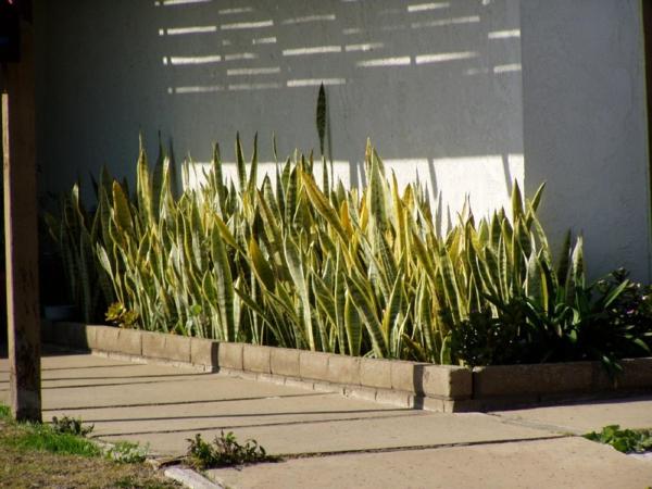 gartenpflanzen gartengestaltung ideen Sanseviera bogenhanf