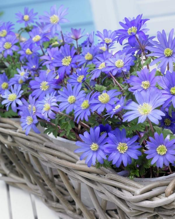gartenpflanzen kaufen blau korb