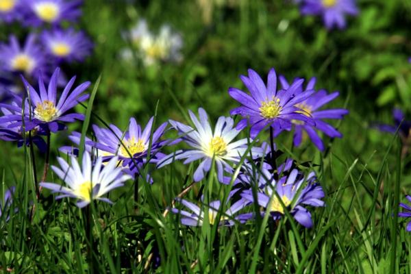 gartenpflanzen kaufen anemone blanda blau wiese gras