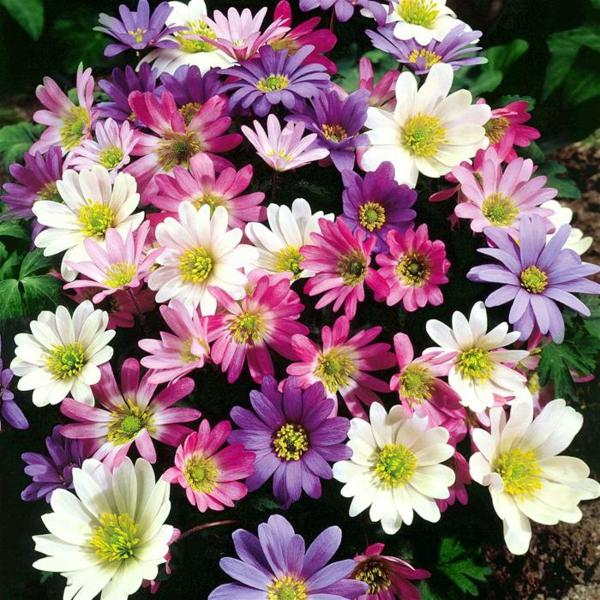 gartenpflanzen kaufen anemone blanda bunt