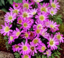 Gartenpflanzen kaufen – Das zarte Balkan-Windröschen und die elegante Mimose
