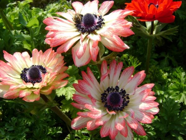 gartenpflanzen kaufen anemone blanda rosa