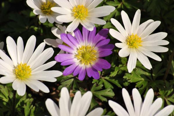 gartenpflanzen kaufen anemone blanda weiß lila