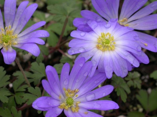 gartenpflanzen kaufen anemone blanda zarte blüten